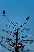 Two adult Osprey perch on a tree that contains their nest at twilight.