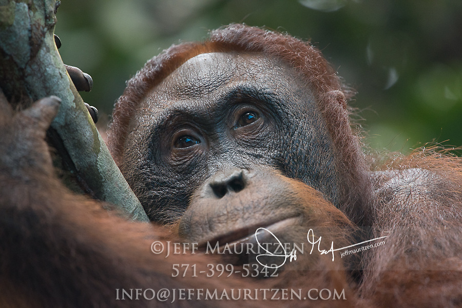 Portrait of a  Bornean orangutan, Pongo pygmaeus in the forest in Tanjung Puting National Park on the island of Borneo, Indonesia.