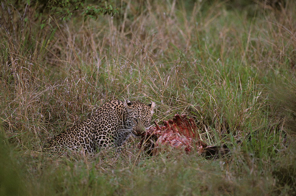 Africa, Kenya, Masai Mara Game Reserve, Adolescent Male Leopard (Panthera pardus) feeding on Wildebeest kill