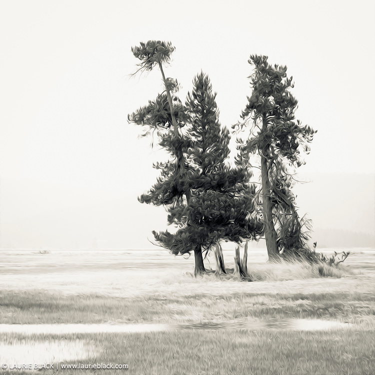 B&W photograph of trees in winter in the Northwest - digitally stylized