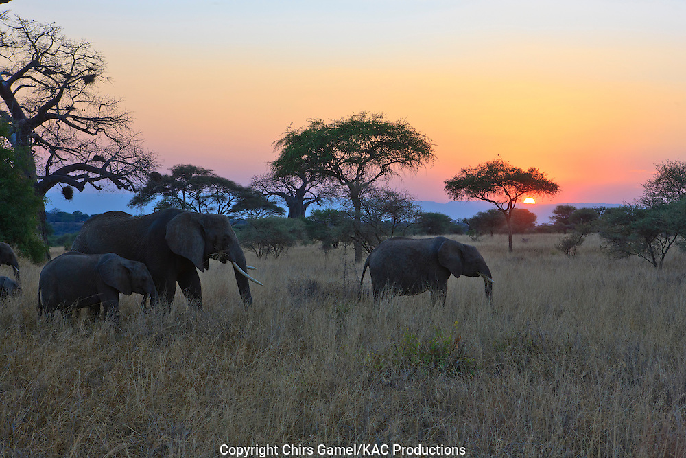 Elephant herd at sunset.