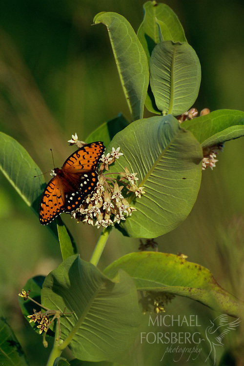A butterfly lands on a milkweed plant.  Spring Creek Prairie, Nebraska.
