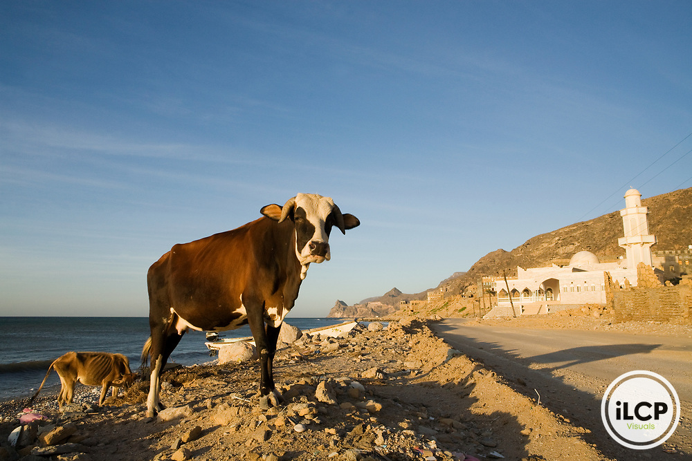 Domestic Cattle (Bos taurus) pair in town near mosque, Hawf Protected Area, Yemen
