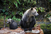 Grizzly Bear <br /> Ursus arctos<br /> Sow and 6-8 month old cub<br /> Knight Inlet, British Columbia, Canada