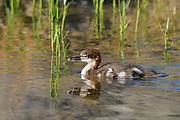 Common Merganser Duckling (Mergus Merganser), Jordan Pond, Acadia National Park, Maine