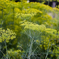 Yellow dill flowers (Anethum graveolens)