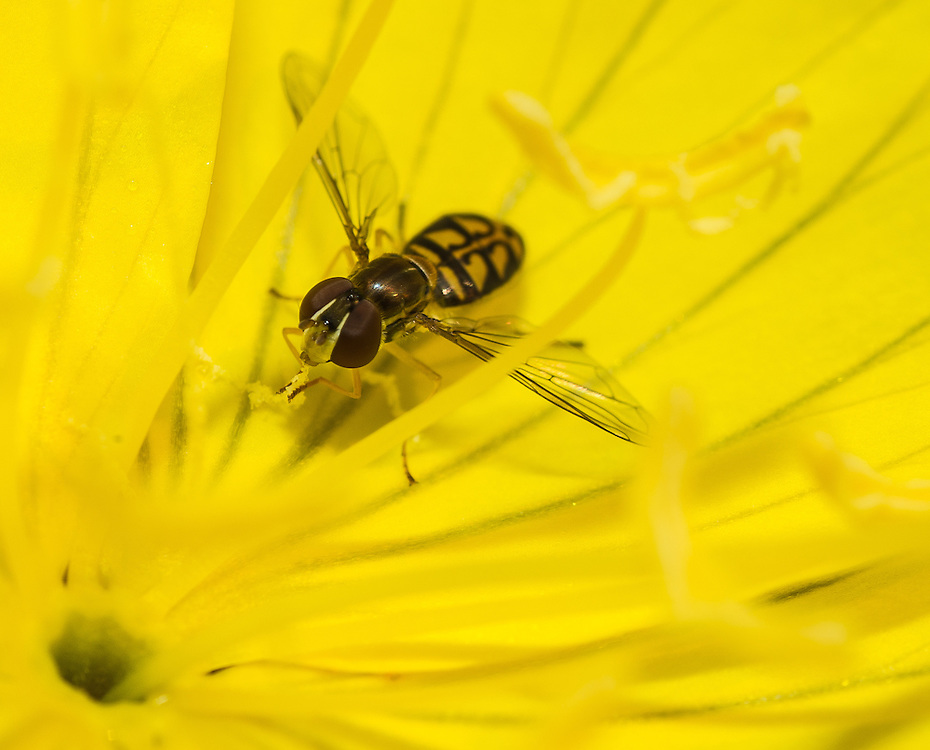 A hoverfly searches for nectar inside of flowering plant. (Sam Lucero photo)