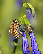 A Honey Bee Nectaring On Purple Flowers, ApisMellifera