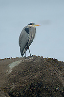 Great Blue Heron (Ardea herodias), Oyster Bay nr. Cambell River, Vancouver Island, Canada   Photo: Peter Llewellyn