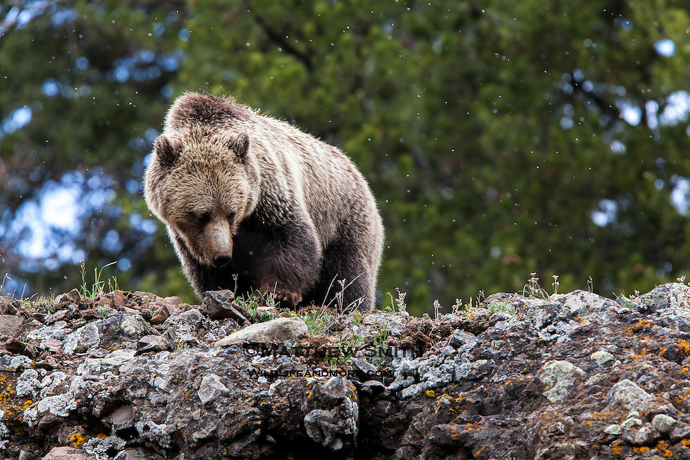 Grizzly Bear in Yellowstone looking for grub
