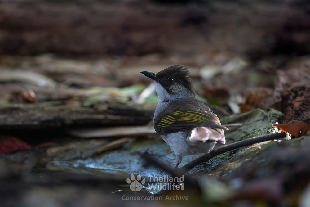 The ashy bulbul (Hemixos flavala) is a species of songbird in the bulbul family, Pycnonotidae. It is found on the Indian subcontinent and in Southeast Asia. Its natural habitats are subtropical or tropical moist lowland forest and subtropical or tropical moist montane forest.