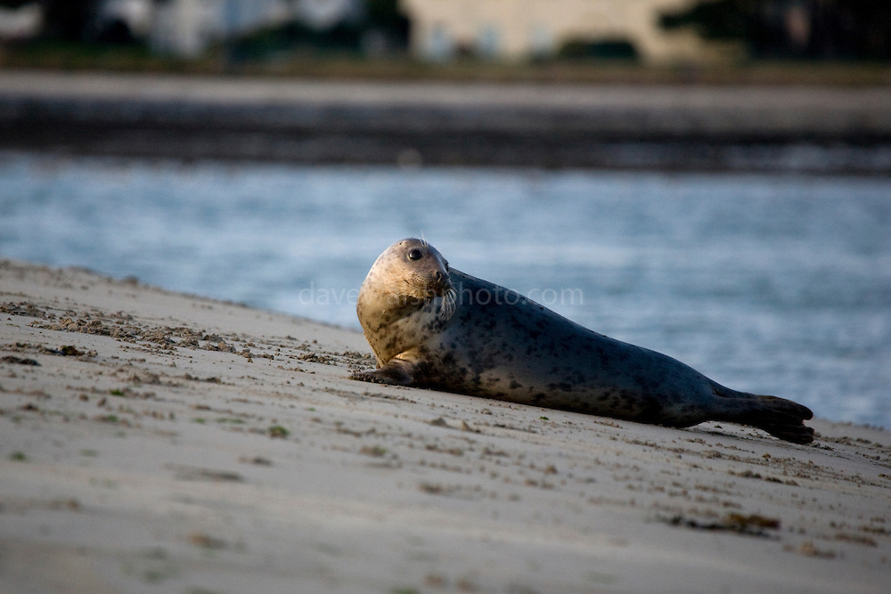 Grey seal, Halichoerus grypus, on Dollymount Strand, Bull Island, Dublin, Ireland. Bull Island is a UNESCO protected biosphere reserve