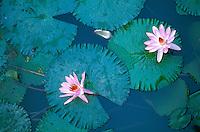Inde. Fleur de Lotus. // India, Lotus Flower.