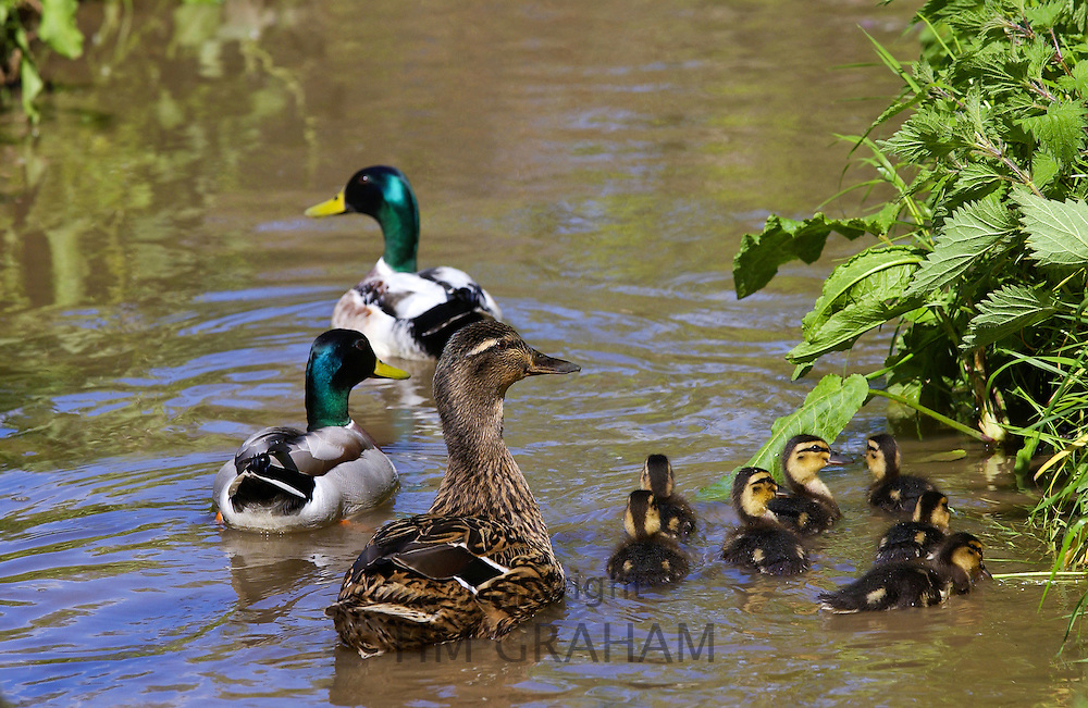 Family group of male and female mallard ducks and ducklings in stream in The Cotswolds, Oxfordshire, UK
