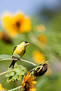 A close up shot of a male American Goldfinch (Carduelis tristis) also known as the Wild Canary in a field of sunflowers.