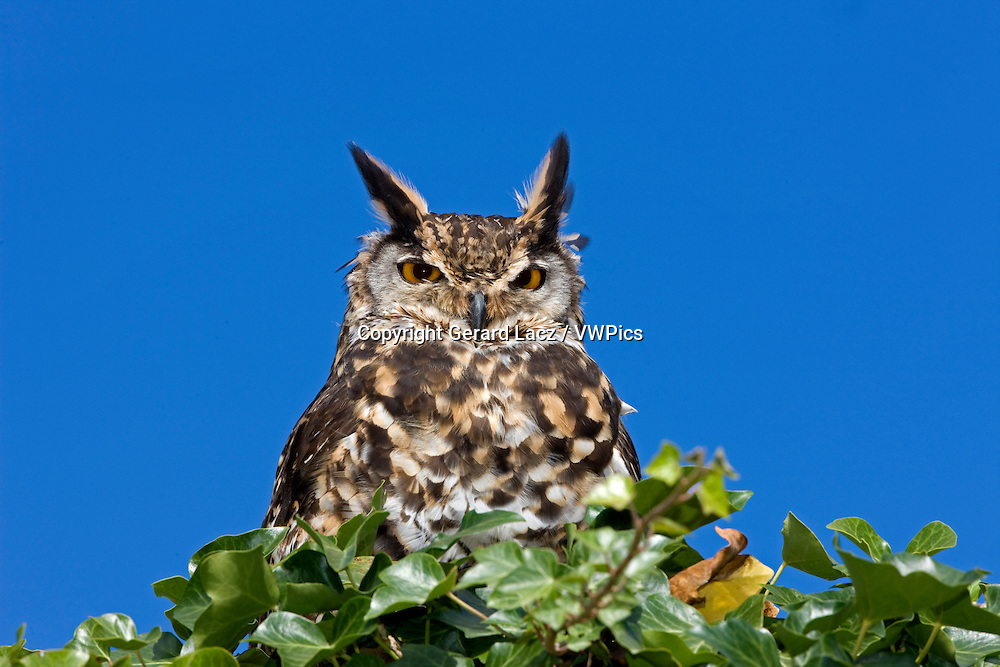 Cape Eagle Owl, bubo capensis, Adult standing on Top of Tree