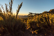 Sunset in the Paramo with Chusquea subtessellata bamboo plants on the foreground.