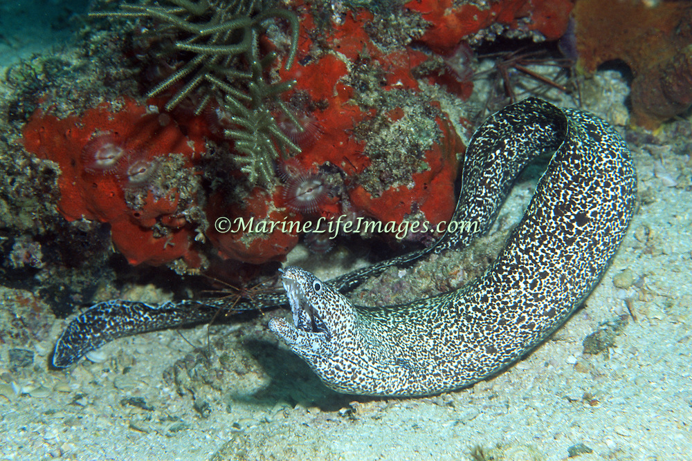 Spotted Moray inhabit wide range of reefs; hide during day in recesses, often extend head from openings in Tropical West Atlantic; picture taken Grand Cayman.