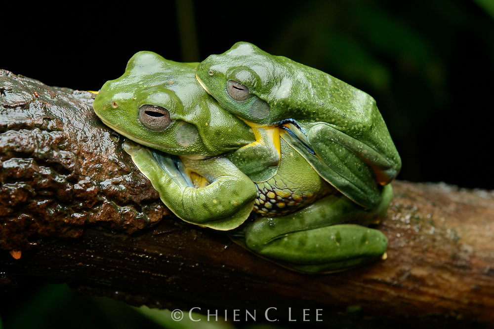 A pair of Bornean Gliding Frogs (Rhacophorus borneensis) in amplexus. Like other Rhacophorid tree frogs, the female will deposit a mass of eggs on a leaf overhanging a pool of water which are then fertilized by the male. Sarawak, Malaysia.