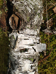 Tree Bark Detail, Witherle Woods, Castine, Maine, US