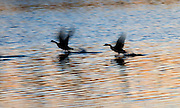 A slow shutter speed catches these two Canada Geese taking off as the last light of the day reflects on the water at Bombay Hook NWR