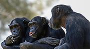 Three Chimpanzees socializing