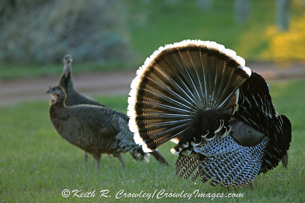Male Merriam's turkey displaying in habitat