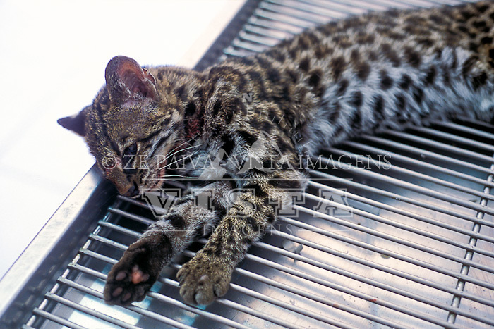 "Gato-do-mato-pequeno, ""leopardus tigrinus"", sendo socorrido no Zoologico de Pomerode Santa Catarina, Brasil. foto de Ze Paiva/Vista Imagens foto de Ze Paiva/Vista Imagens"