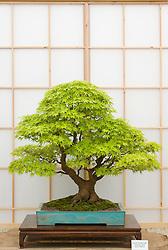 Bonzai tree - Acer palmatum, maple. Heron's Bonsai - Chelsea 2005