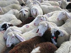 """08.06.2011, Anras, Osttirol, AUT, Scrapie bei Schaf, Hof gesperrt, Bei einem zugekauften Schaf aus Kärnten wurde in Osttirol die Hirnerkrankung """"Scrapie"""" diagnostiziert. Der Hof an dem das Schaf verendete, mußte gesperrt werden. Warscheinlich müssen weitere 93 Schafe getötet werden. Bei der Kadaverbeprobung des siebenjährigen konnte die Hirnerkrankung Scrapie diagnostiziert werden, wie das Land Tirol in einer Aussendung am Mittwochmorgen mitteilte. Es handle sich um einen atypischen Fall, der nun in Großbritannien genauer abgeklärt werden soll. Es wurden krankhaft veränderte Prionen gefunden, die aber noch nicht eindeutig diagnostiziert werden konnten. Aufgrund der durchgeführten Erhebungen könne ausgeschlossen werden, dass verdächtige Tiere aus dem betroffenen Betrieb in die Nahrungskette gelangt seien, sagt Landesveterinärdirektor Josef Kössler. ARCHIVBILD, es wurde am 08.09.2007 in Kals am Großglockner aufgenommen. EXPA Pictures © 2011, PhotoCredit: EXPA/ Peter Gruber"""