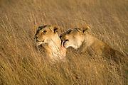 Cosy lions from Maasai Mara, Kenya.