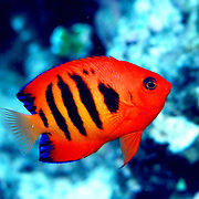 Flame Angelfish inhabit reefs. Ranges from Indonesia and Philippines to Hawii and French Polynesia.