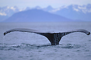 Alaska. Humpback Whale tail. The Humpback Whale (Megaptera novaeangliae) is a mammal which belongs to the baleen whale suborder.