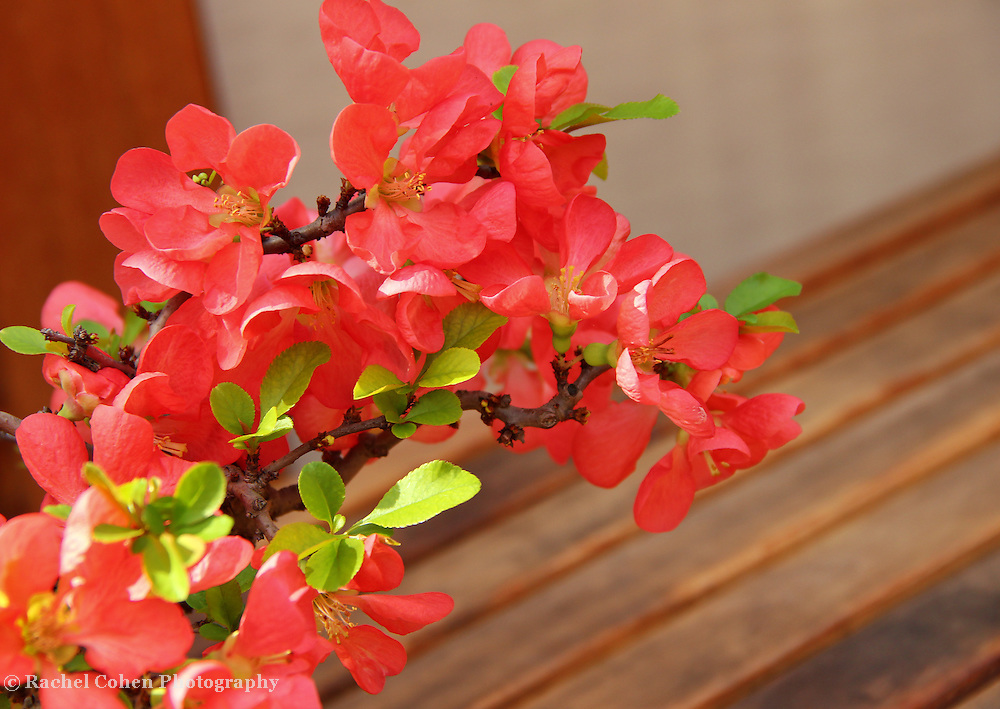 """Quince Blossoms"""