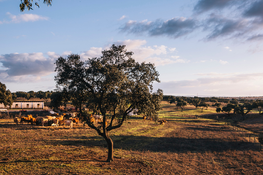 Alentejo cattle and cork trees