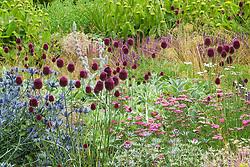 Allium sphaerocephalon with Eryngium x zabelii and Achillea millefolium 'Cerise Queen' in a mixed border at Broughton Grange. Design: Tom Stuart-Smith