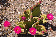 Beavertail cactus (Opuntia basilaris) in bloom, Death Valley National Park. California