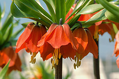 Keizerskroon, Fritillaria imperialis