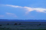 GOBI DESERT, MONGOLIA..08/31/2001.Tsagan Gol, near Bayangovi. Camels at sunset..(Photo by Heimo Aga).