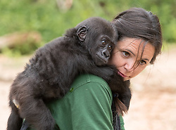 © Licensed to London News Pictures. 10/08/2016. Bristol, UK. ** EMABARGOED TILL 00.01am, THURSDAY 11 AUGUST 2016 **. AFIA a western lowland gorilla, pictured with gorilla keeper JOANNE RUDD at Bristol Zoo. Afia will be 6 months old on Friday 12 August, after being born by caesarian section. Photo credit : Simon Chapman/LNP