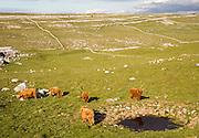 Highland cattle grazing limestone scenery, Malham, Yorkshire Dales national park, England, UK