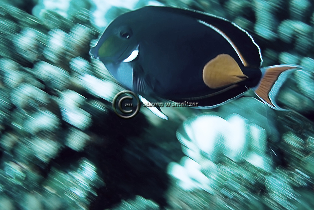 Achilles Tang, Acanthurus achilles, Shaw, 1803, Maui Hawaii