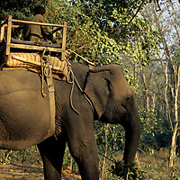 Asia, Nepal, Chitwan. Elephant taking a break in Chitwan National Park.