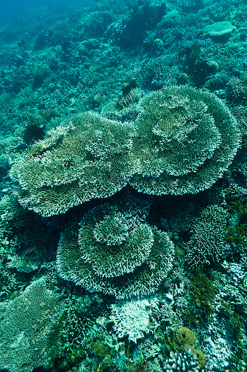 Plate corals, Cendrewasih Bay, West Papua, Indonesia.