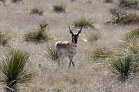 Pronghorn antelope near Marfa, Texas