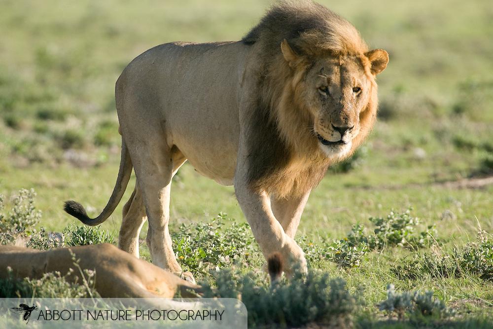 Lion (Panthera leo) - male<br /> AFRICA: Namibia<br /> Etosha National Park; Halali<br /> 3-5.April.2007<br /> J.C. Abbott #2322
