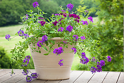 Verbena 'Homestead Purple' and V. 'Burgundy' in a large terracotta container