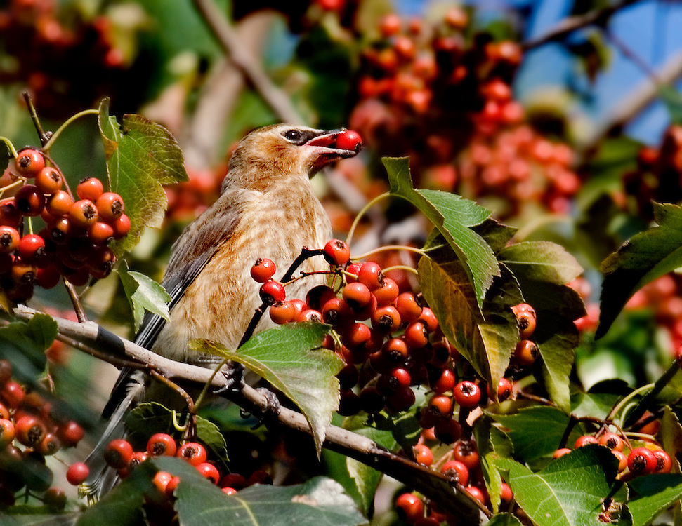 This is a cedar waxwing eating some Fall berries. They are normally rarely seen in the park.