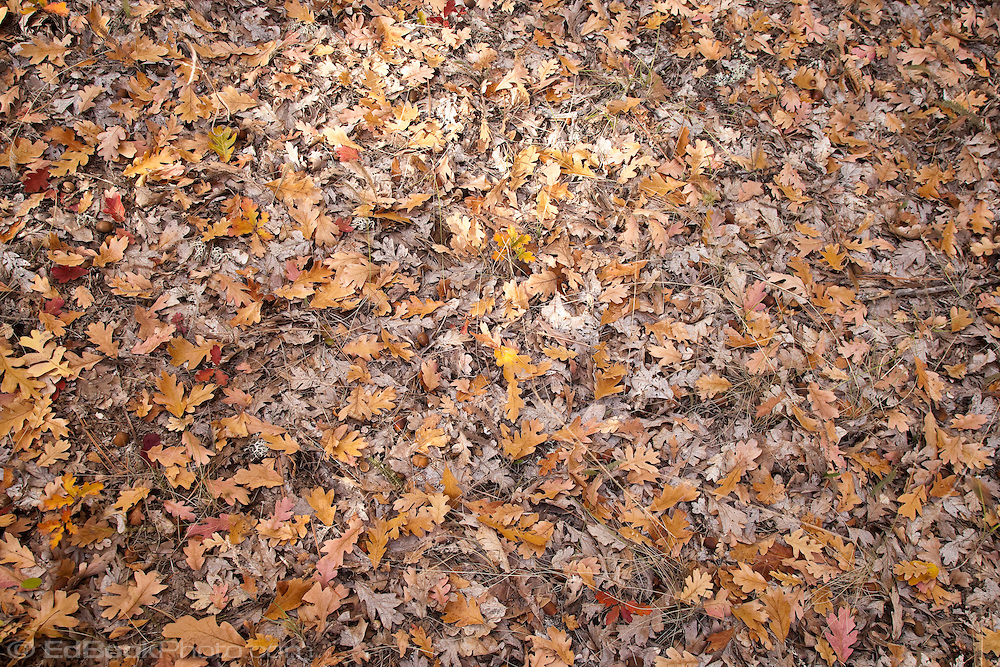 Fallen leaves of Garry Oak (Quercus garryana) blanket the ground on the rim of the Klickitat Canyon, Klickitat County, WA, USA