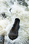 An adult American black bear chases a spawning salmon through the water in Anan Creek at the Tongass National Forest, Alaska. Anan Creek is one of the most prolific salmon runs in Alaska and dozens of black and brown bears gather yearly to feast on the spawning salmon.